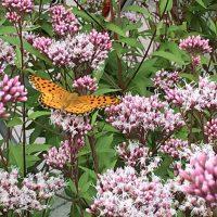 はなさんぽ通信「散歩中に蝶の群舞」に会う