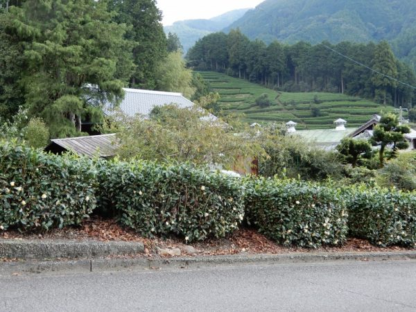 水見色 秋の風景(そば・茶・フジバカマの花たち)静岡市