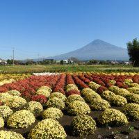 南条の里にざる菊アート「赤富士」(富士宮市)
