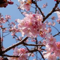 さくら開花情報(早咲き桜)