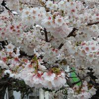 帯桜(おびざくら)島田市
