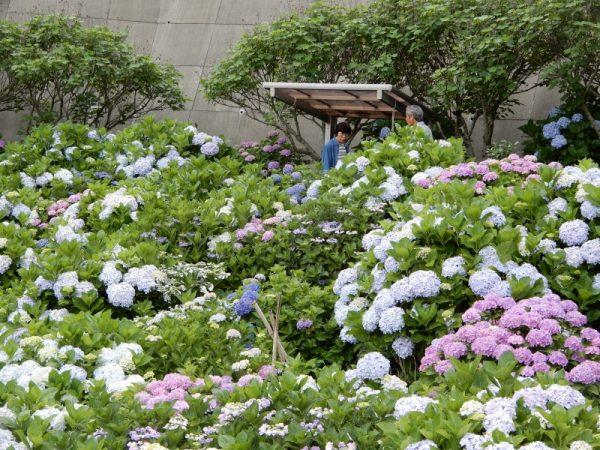 特別養護老人ホームこもれびの「あじさい園」(静岡市)
