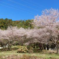 浜松市光明寺の四季桜と紅葉(浜松市天竜区)