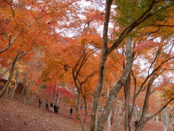 修善寺自然公園もみじ林の紅葉(伊豆市)