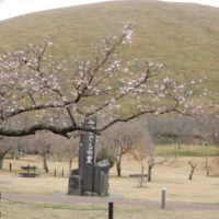 大室山麓さくらの里の十月桜・三波川冬桜(伊東市)