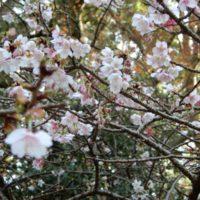 はなさんぽ通信「久能山東照宮の寒桜」