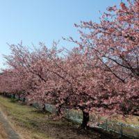 はなさんぽ通信「静岡県内の早咲き桜情報」