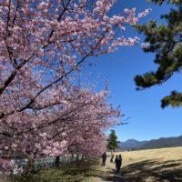 はなさんぽ通信「さくら開花情報(早咲き桜)」