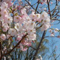 はなさんぽ通信「駿府城公園の桜 開花状況」