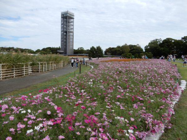 浜名湖ガーデンパークのコスモス(浜松市)