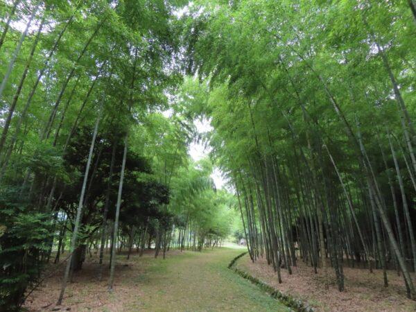 清水森林公園「やすらぎの森」の蝋梅と竹林(静岡市)