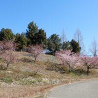 藤枝総合運動公園の河津桜(藤枝市)
