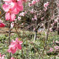 ばらの都苑のクリスマスローズと花桃(浜松市)