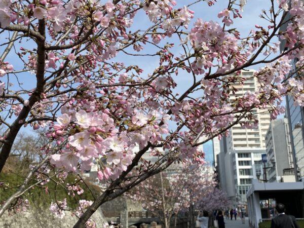 駿府城公園の桜(静岡市)