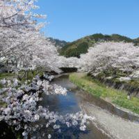 水見色川の桜並木(静岡市)