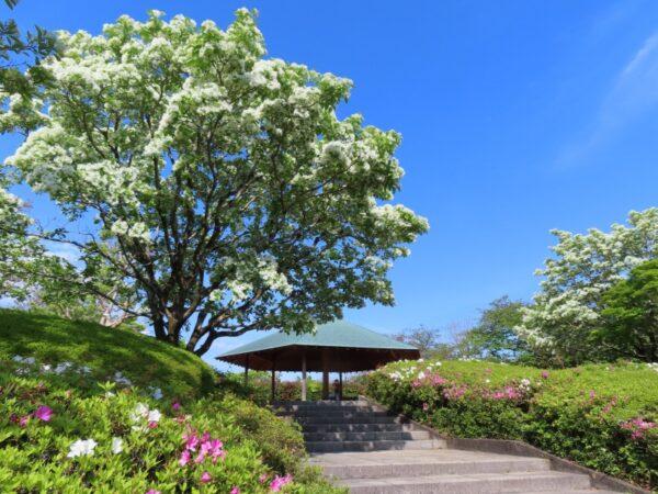 城北公園のヒトツバタゴ(なんじゃもんじゃ)静岡市