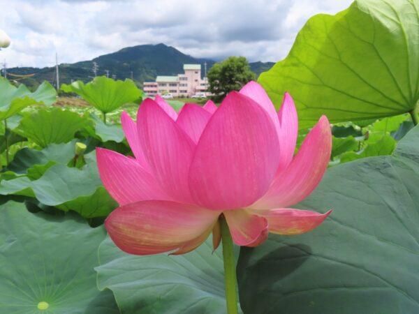 あさはたハス池(あさはた緑地)のハスの花(静岡市)