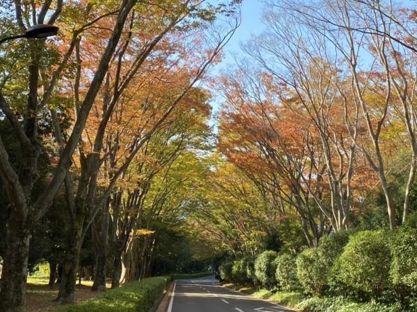 静岡県立美術館の紅葉とツワブキの花(静岡市)