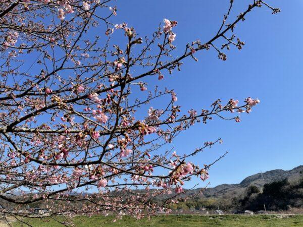 はなさんぽ通信「かんなみの桜」
