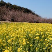 東大山・花川堤防沿いの河津桜と菜の花(浜松市)