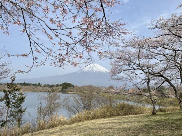 田貫湖の桜(富士宮市)