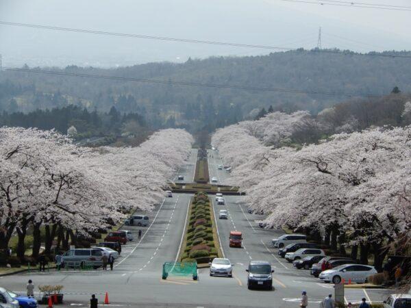 富士霊園の桜(小山町)