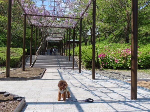 蓮華寺池公園の藤(藤枝市)