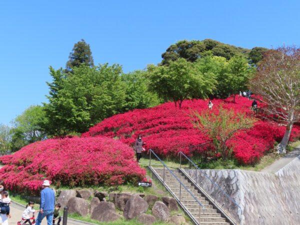 秋葉山公園のキリシマツツジ(静岡市)
