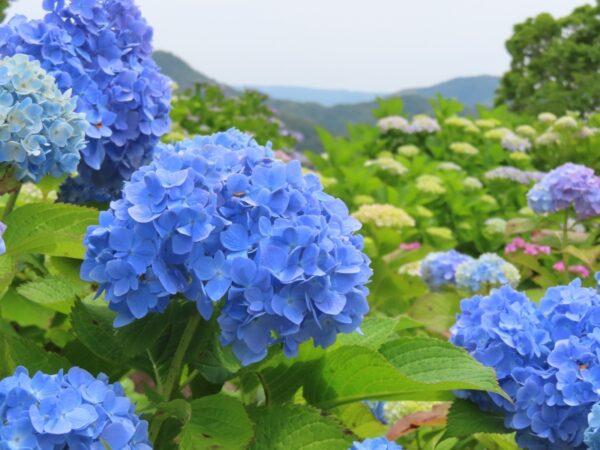 照江寺の紫陽花(沼津市)