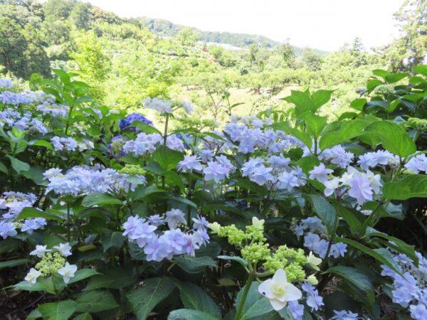 敷地里山公園の紫陽花(磐田市)