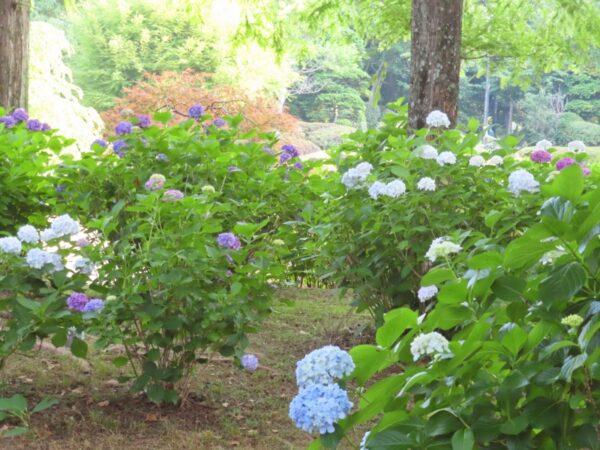 城北公園の紫陽花とカルガモの親子(静岡市)