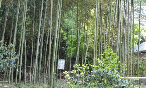 江川邸の韮山竹